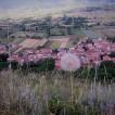 Soffione su Monte Salviano
